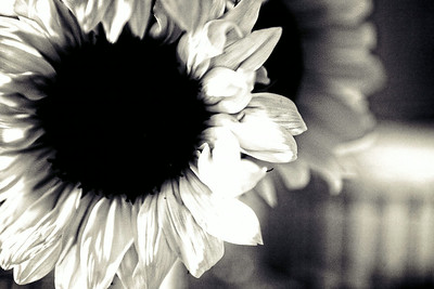 may12-sunflower-bw