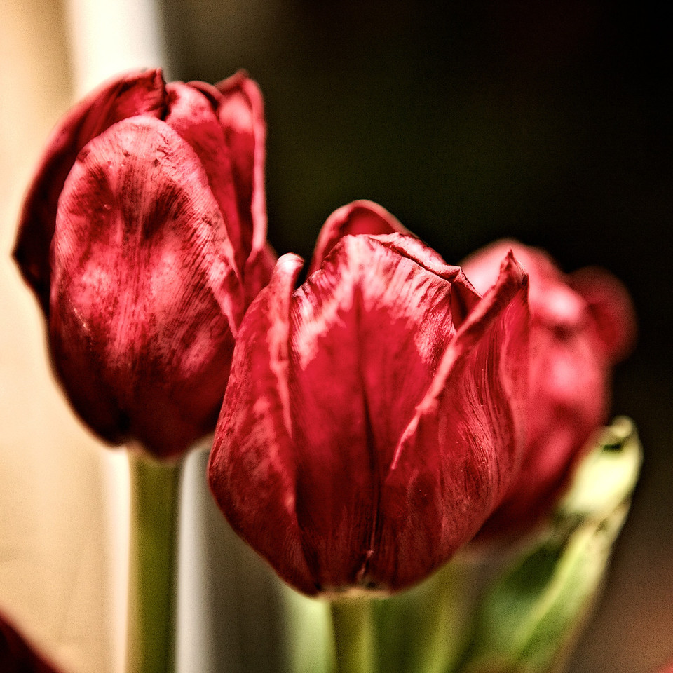 nov12-dried-tulips