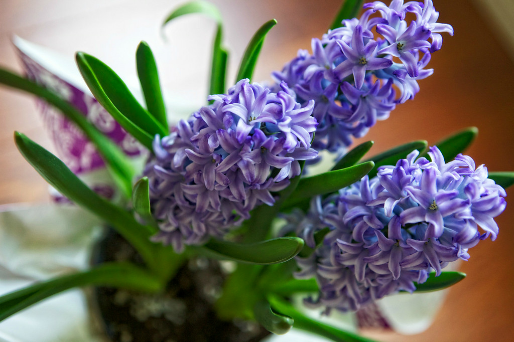 may12-flowers-hyacinth
