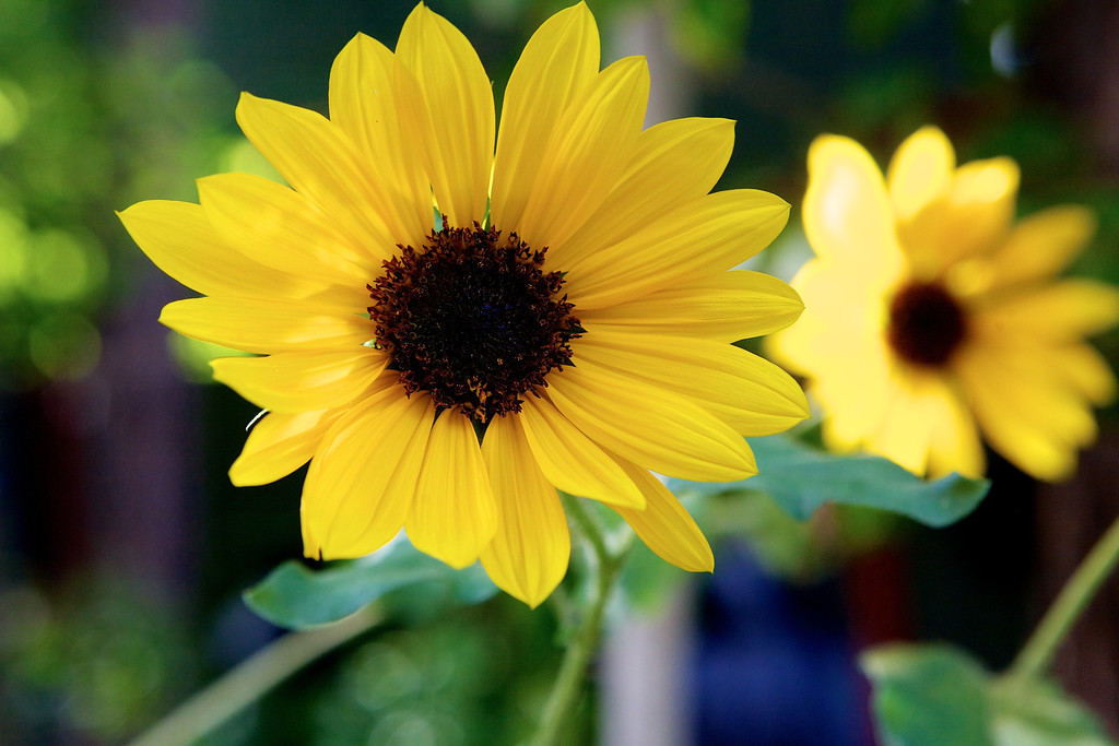 aug12-yellow-daisy (1)
