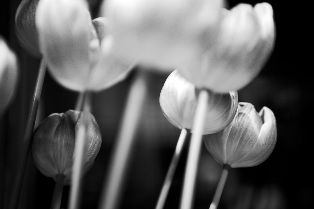 sep12-bw-tulips