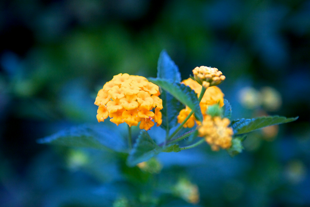 may12-yellow-lantana