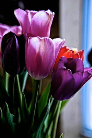 may1-purple-tulips