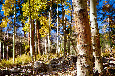 Yellow Aspens Hanging in There