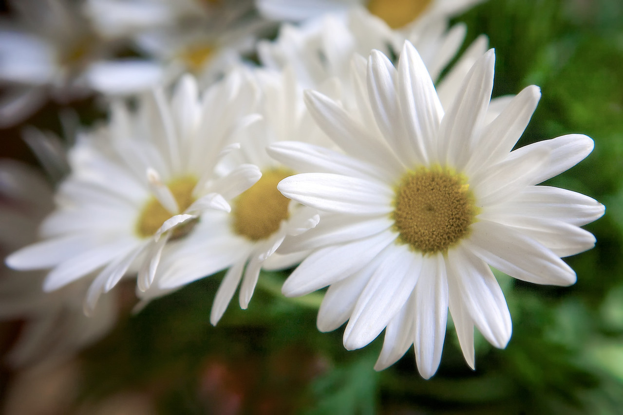 Was over at a friends house today and found these fun white daisies! 