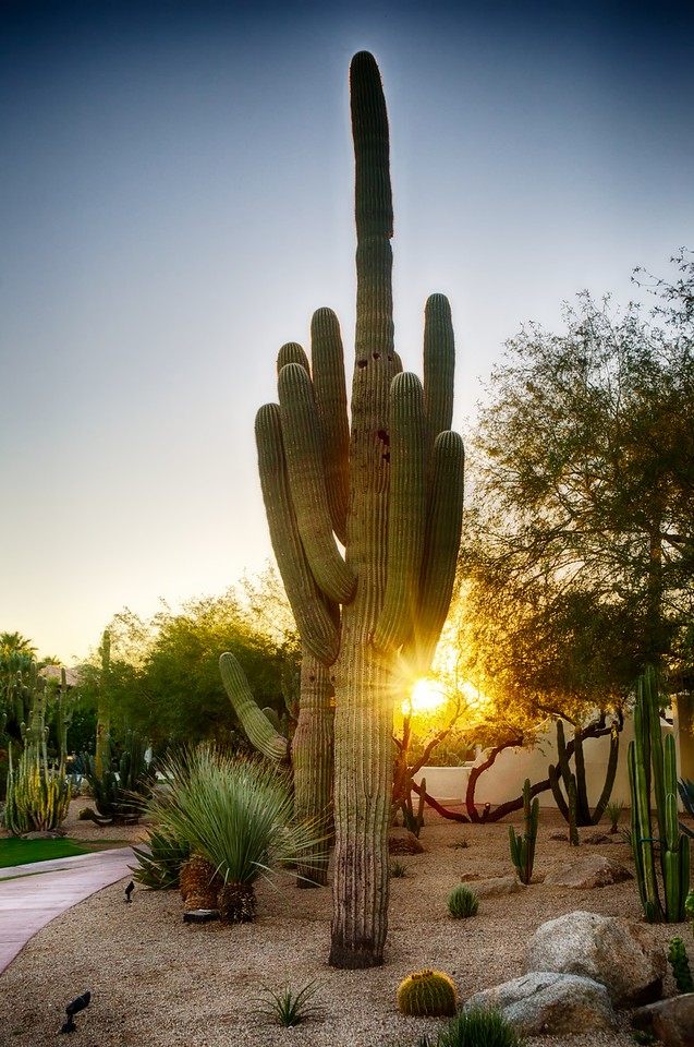 Cactus at Sunset