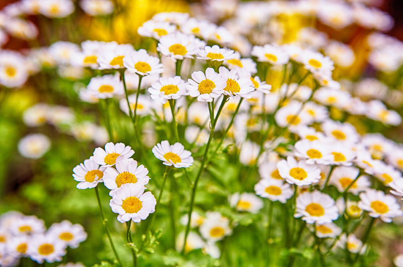 These cute daisies are in my Mom's yard and she has no idea where they came from or exactly what they are... She thinks they are a weed, but she likes the blossoms so she didn't rip them out! :) <br /> <br /> Day 180 of 365<br /> 06-29-2013
