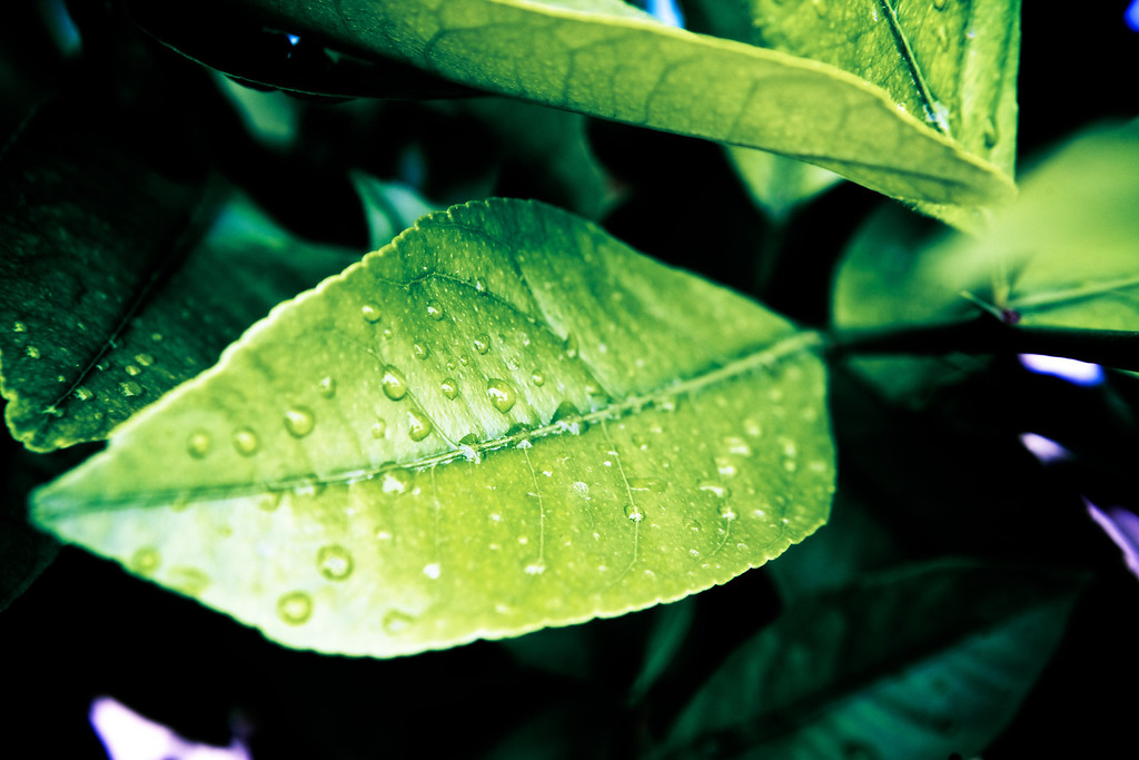 Rain showers in the desert today! Raindrops on the lemon leaves! <br /> <br /> Day 98 of 365<br /> 04-08-2013