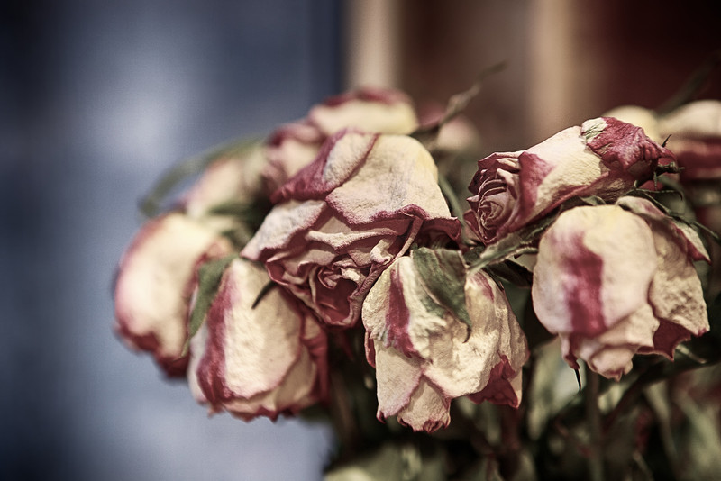 Dried up Roses