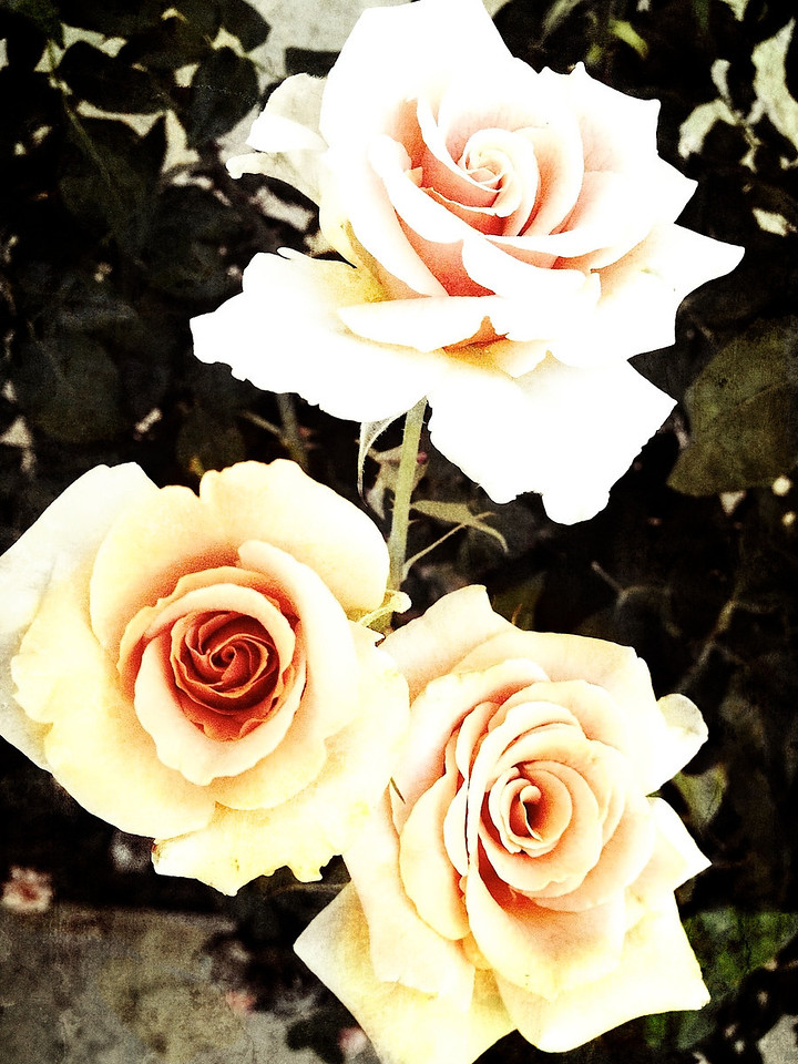 Found these cute peach roses tonight.... this is an iPhone capture and edited on my Macbook...<br /> <br /> Day 161 of 365<br /> 06-10-2013