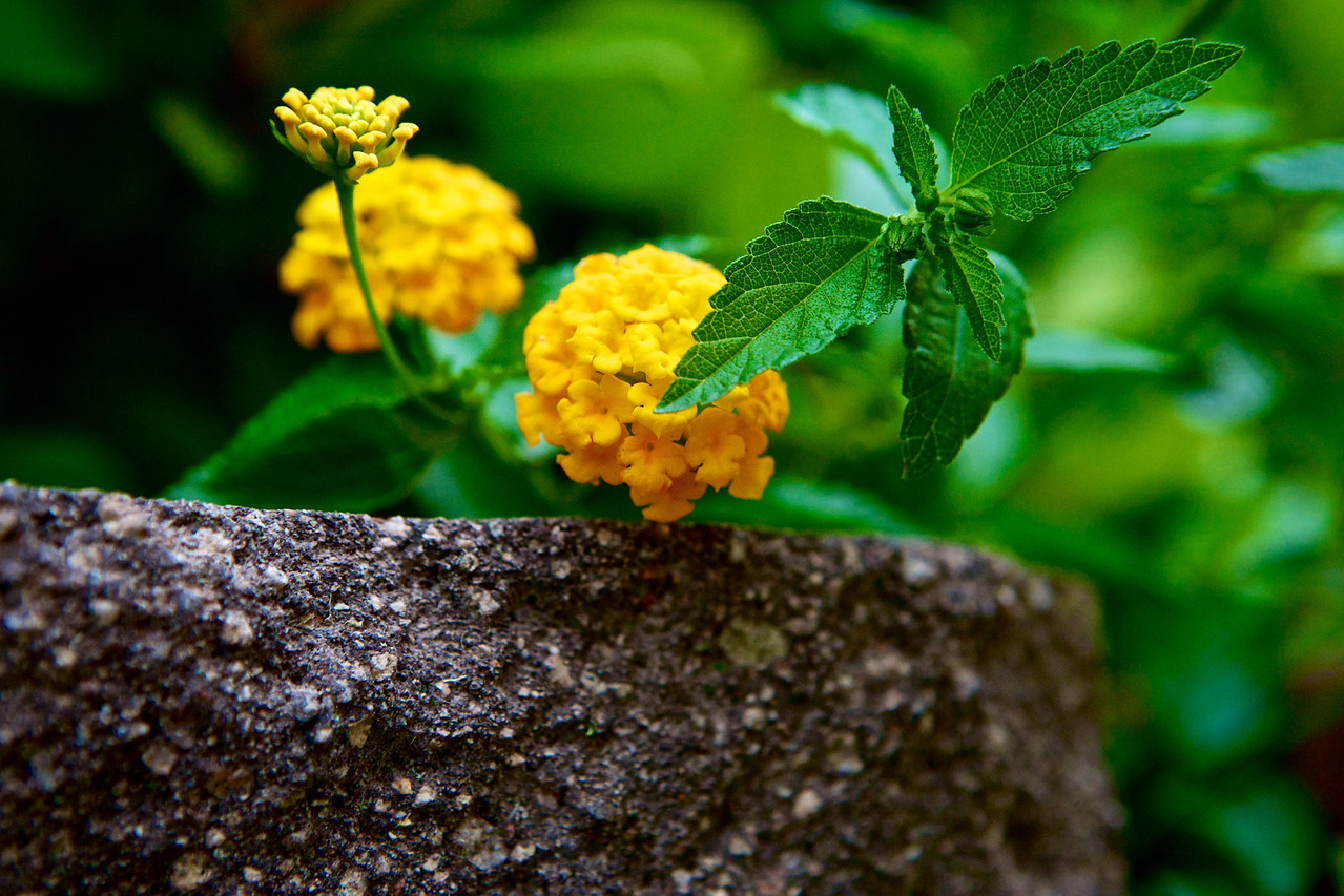 Found these fun Lantana blossoms and liked the different stages found here...   Day 136 of 365 05-16-2013