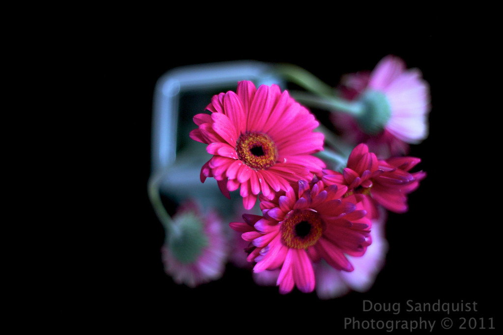 """A gray and windy day was our first day or spring. Good thing there was a good dose of good basketball games on.. So I had a try and find a picture today and found these last 3 daisies standing. This is the same vase of daisies from a few days ago, which can be seen <a href=""""http://www.sandquistphotography.com/Photography/Photo-A-Day-2011/15292273_FHUaJ#1219748060_KqUGu"""">Here</a>. I think I like this image better..  03-20-2011"""