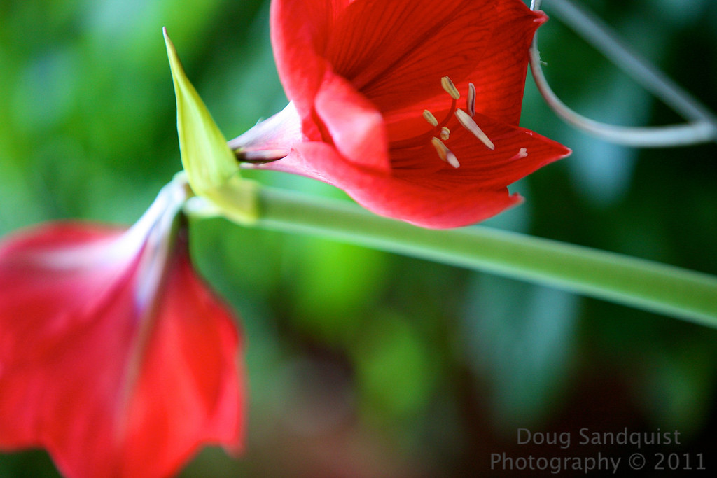 Found this Amaryllis on my Mom's patio while the kids were hunting Easter Eggs...This is it's second season of blooms... Hope everyone had a great Easter weekend.<br /> <br /> 04-24-2011