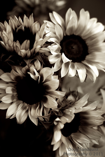 More sunflowers today... I decided to try sepia for a change and I like how it brings out the textures of the petals... Hard to believe another month is gone! <br /> <br /> 08-31-2011