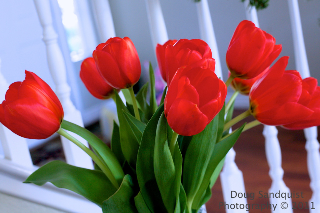 Found these Tulips in the house today... There is always something draws my eye towards taking their picture. Maybe it's their color or shape, I'm not sure... But I find them hard to capture the petal detail with them appearing over saturated. <br /> <br /> 04-10-2011
