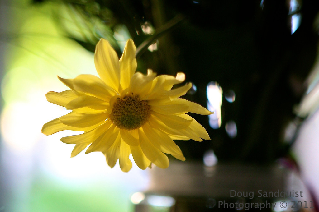 A lone yellow flower... with some fun backlight.<br /> <br /> 10-23-2011
