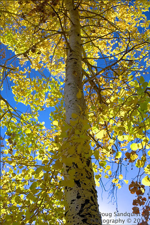 The Aspens are almost gone for this season...   10-21-2011