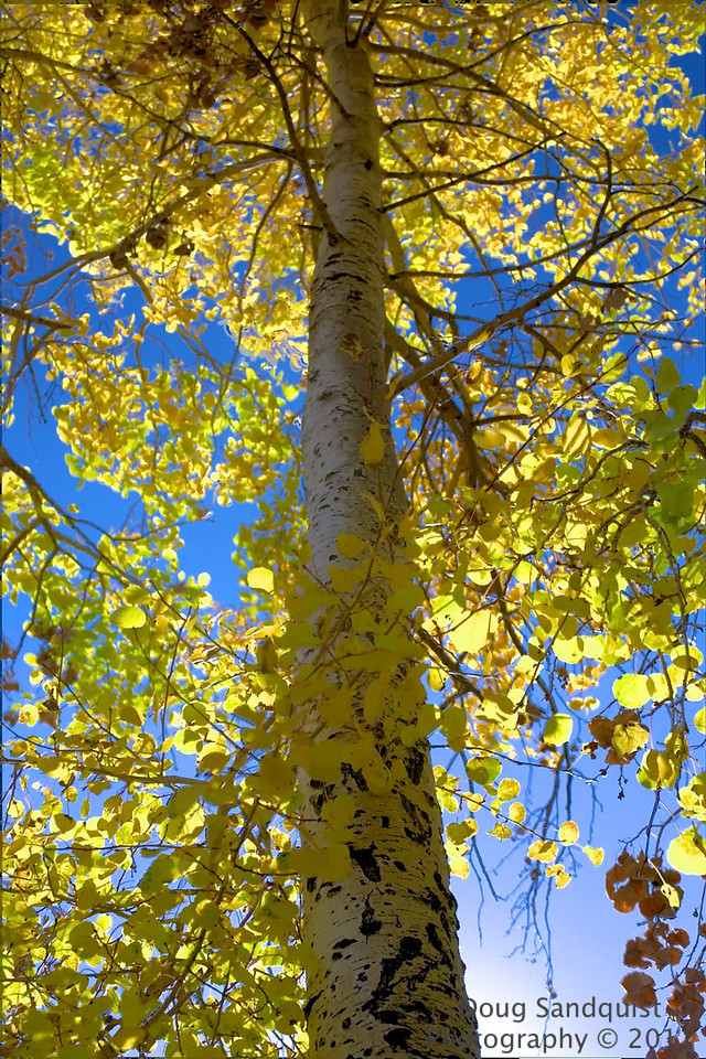 The Aspens are almost gone for this season... <br /> <br /> 10-21-2011