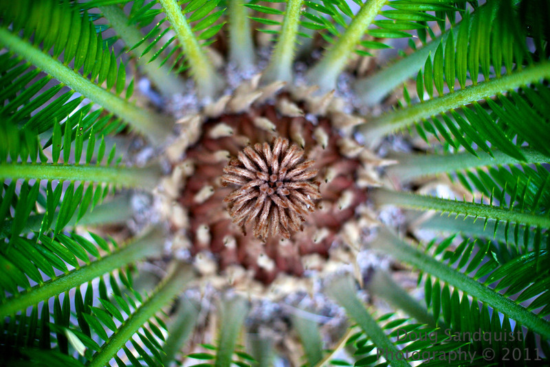 I'm not exactly sure what the heart of palm looks like, but this is the center of a palm in my yard! I liked the textures and dof... <br /> <br /> 08-24-2011