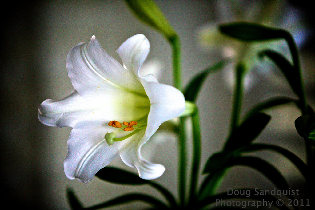 Can't let the Easter season leave without an easter lilly pic... It feels like it's almost over processed in the background but I liked the way the flower popped out of the image... oh and the stems in the background look cool too... <br /> <br /> 04-25-2011