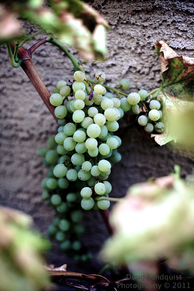 Decided to try some more photos of the grapes on the vine... I liked the DOF and feel of this image....<br /> <br /> 08-02-2011