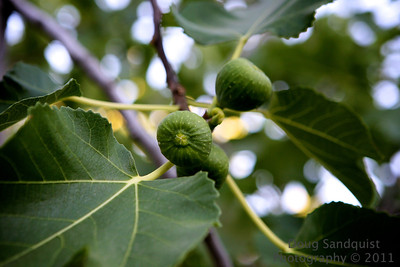 I've shot these fig leaves a bit earlier in my daily photo project, but now the Figs are coming along nicely!   06-25-2011