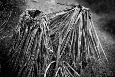 Went for an evening ride through Red Rock... and found these Yucca cactus that didn't do so well in a fire a few years ago.. I liked the textures in this image.. Best viewed in larger sizes.   A few other shots from the trip can be seen here: http://www.sandquistphotography.com/Photography/Photo-a-Day-Extras/i-MqSXBjT/0/L/red-rock-extras-1-L.jpg   http://www.sandquistphotography.com/Photography/Photo-a-Day-Extras/i-QgkXzCq/0/L/red-rock-extras-2-L.jpg  http://www.sandquistphotography.com/Photography/Photo-a-Day-Extras/i-B4sVxgZ/0/L/red-rock-extras-3-L.jpg  05-13-2011