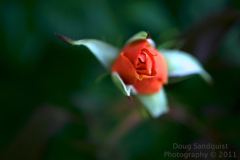 Found this rosebud, with out a whole lot of light around... I kind of wish I had closed the aperture 2 or 3 stops...I think I would have liked a bit larger DOF but its the best I came up with for this day.... <br /> <br /> 06-08-2011