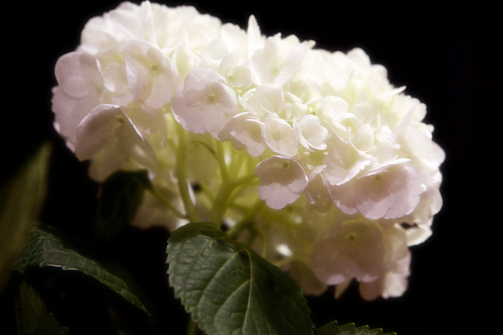 Still Messing Around With the Hydrangea's