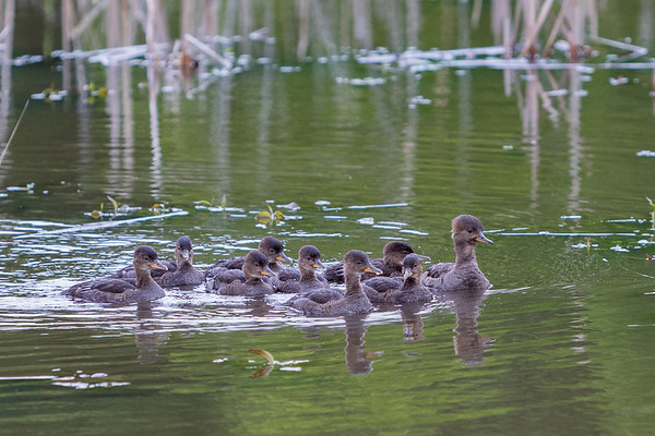 Mom and her 8 ducklings out for a swim