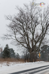 Day 62 - Same tree as yesterday (slightly different angle).  Interesting how the weather changes how something looks.