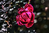 Project 52 - RDH Photo 45 - Evil Rose - 11-24-2012
