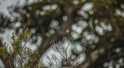 Allen's Hummingbird V3