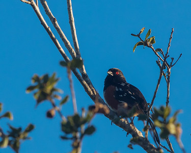 Spotted Towhee v2
