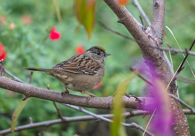 Golden Crowned Sparrow, Adult