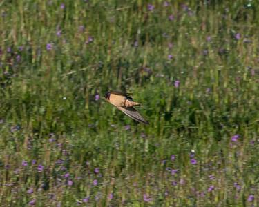 Barnswallow in flight