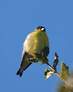 Lesser Goldfinch perched, male