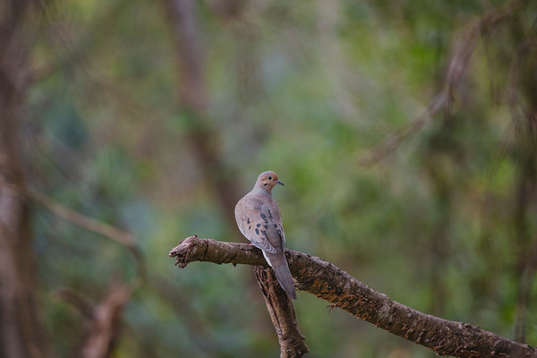Mourning Dove v2