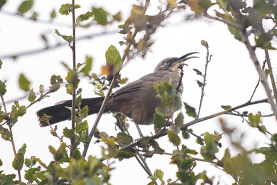 California Thrasher in foliage