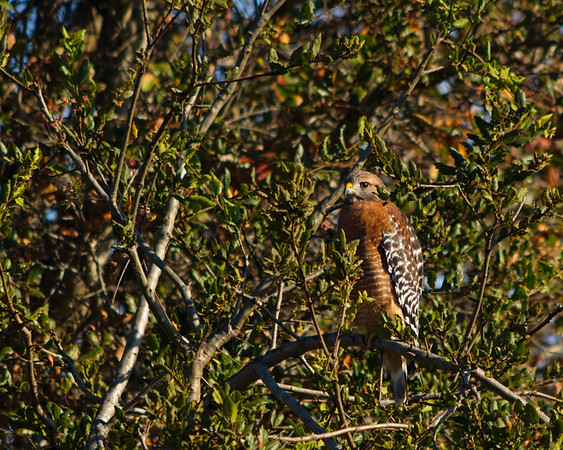 Someone's hiding...Red Shouldered Hawk