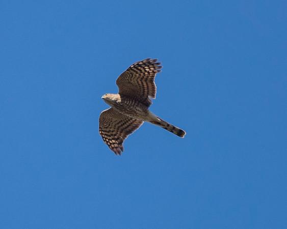 Cooper's hawk,  bottom plumage