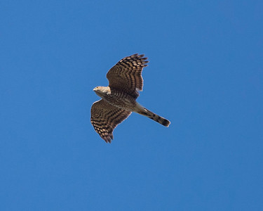 Cooper's hawk,  bottom plumage