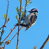 Downy Woodpecker V2