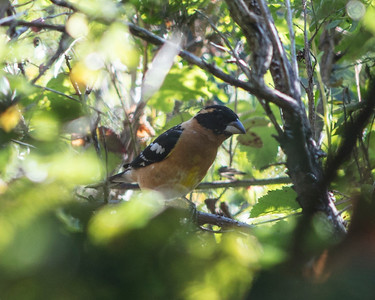 Black Headed Grosbeak V3 Male