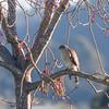 Sharp-shinned hawk, juvenile