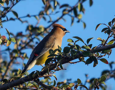 Cedar Waxwing with wax on wing feathers