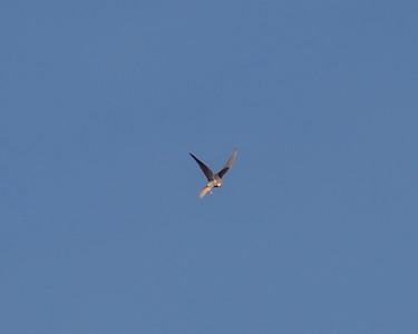 White tailed Kite ready to dive