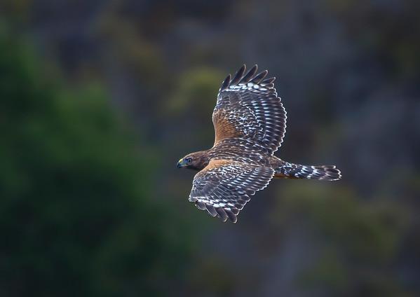 Red Shouldered Hawk in flight V4