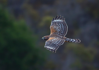 Red Shouldered Hawk in flight V4