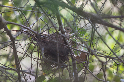 Mourning Dove in nest